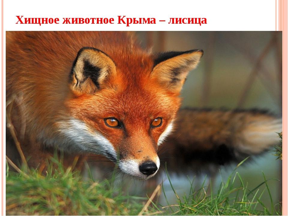 Хищное животное Крыма – лисица