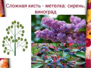 Сложная кисть - метелка: сирень, виноград