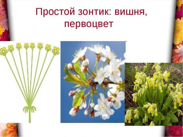 Простой зонтик: вишня, первоцвет