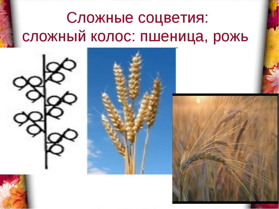 Сложные соцветия: сложный колос: пшеница, рожь