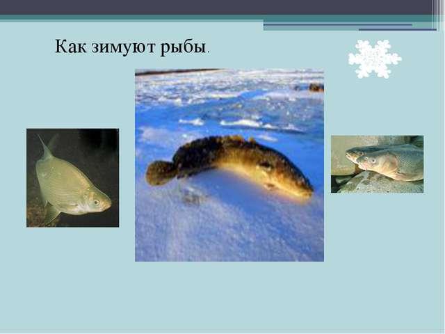 Как зимуют рыбы.