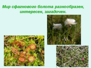 Мир сфагнового болота разнообразен, интересен, загадочен.