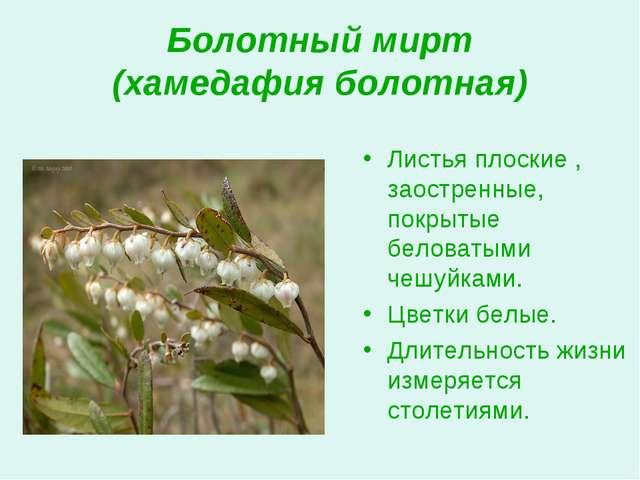 Болотный мирт (хамедафия болотная) Листья плоские , заостренные, покрытые бел...