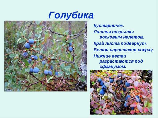 Голубика Кустарничек. Листья покрыты восковым налетом. Край листа подвернут....