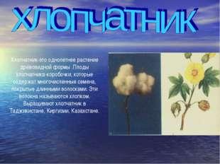 Хлопчатник-это однолетнее растение древовидной формы .Плоды хлопчатника-короб