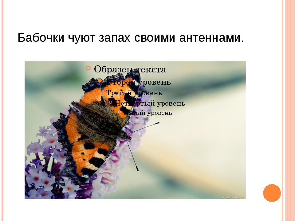 Бабочки чуют запах своими антеннами.