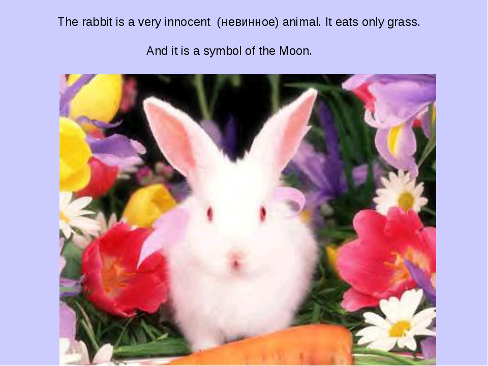 The rabbit is a very innocent (невинное) animal. It eats only grass. And it...