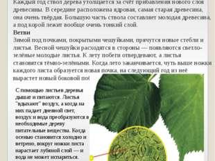 Ствол дерева покрыт корой — покровной тканью, которая предохраняет его от выс