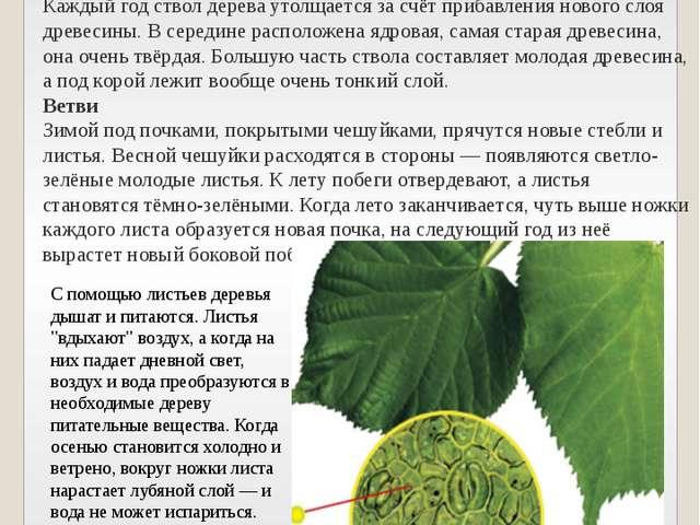 Ствол дерева покрыт корой — покровной тканью, которая предохраняет его от выс...