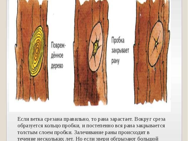 Если ветка срезана правильно, то рана зарастает. Вокруг среза образуется коль...