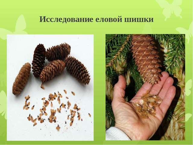 Исследование еловой шишки