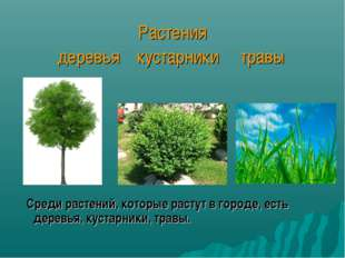 Растения деревья кустарники травы Среди растений, которые растут в городе, ес