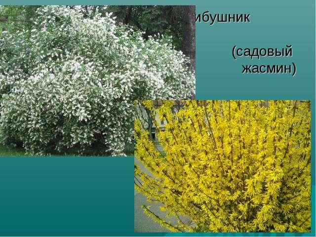 чибушник (садовый жасмин)