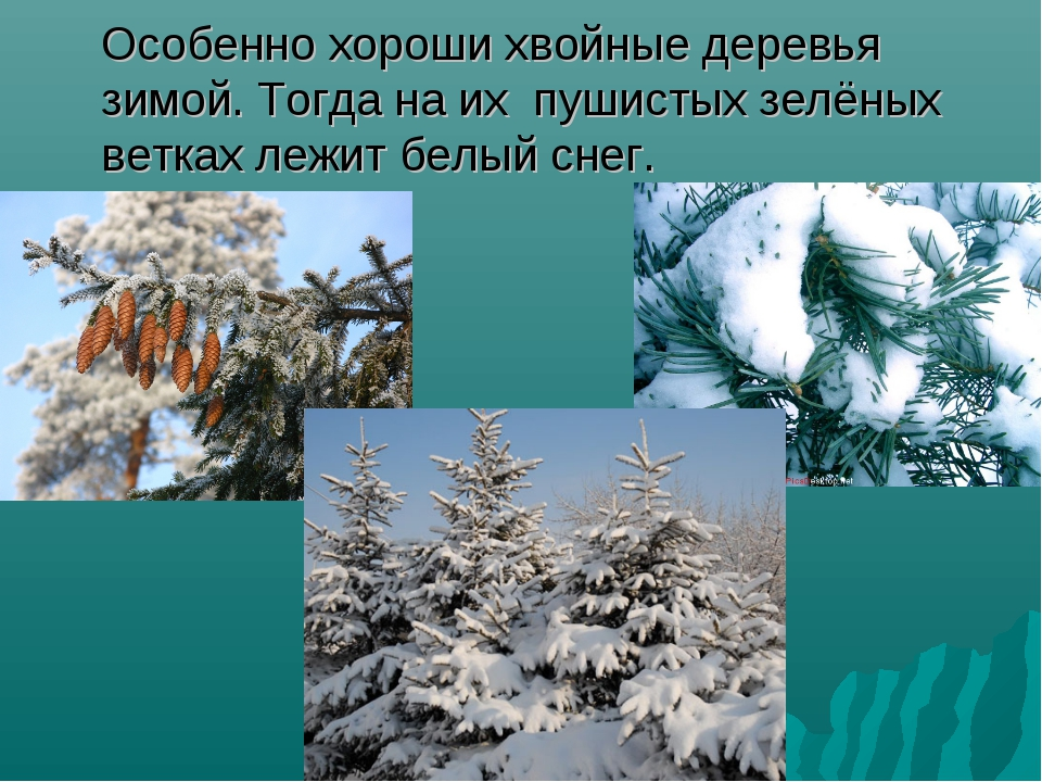 Особенно хороши хвойные деревья зимой. Тогда на их пушистых зелёных ветках ле...