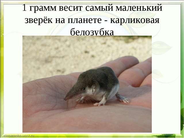 1 грамм весит самый маленький зверёк на планете - карликовая белозубка