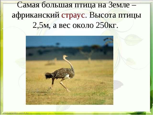 Самая большая птица на Земле – африканскийстраус. Высота птицы 2,5м, а вес о...