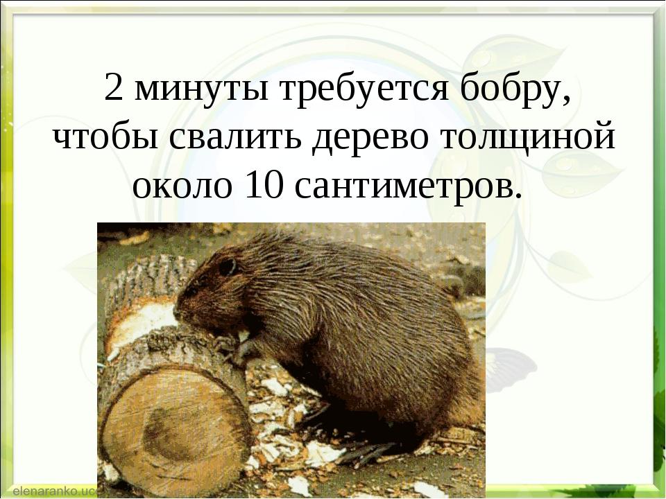 2 минуты требуется бобру, чтобы свалить дерево толщиной около 10 сантиметров.