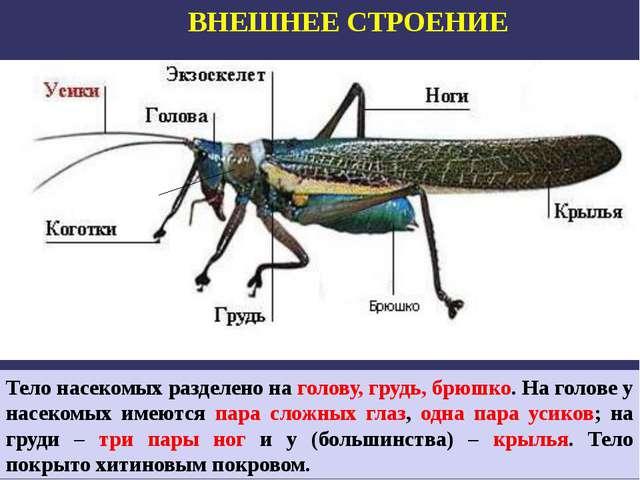 ВНЕШНЕЕ СТРОЕНИЕ Тело насекомых разделено на голову, грудь, брюшко. На голове...