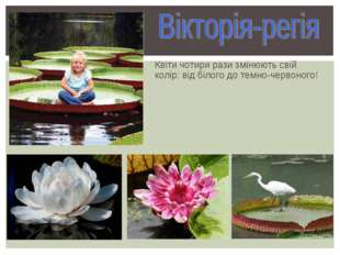 Квіти чотири рази змінюють свій колір: від білого до темно-червоного!