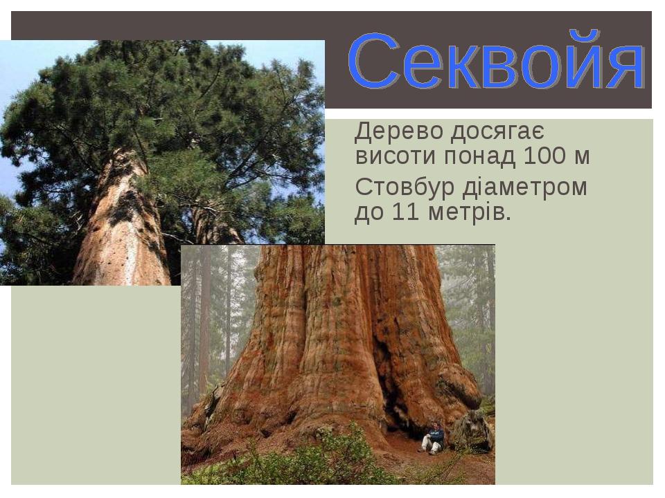 Дерево досягає висоти понад 100 м Стовбур діаметром до 11 метрів.