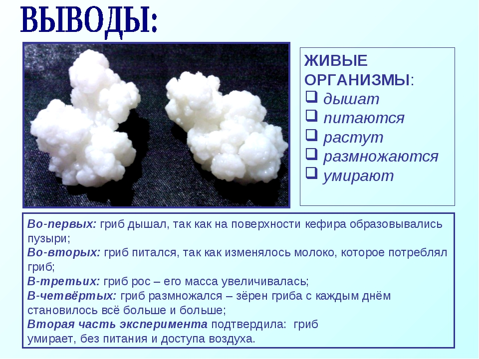 Во-первых: гриб дышал, так как на поверхности кефира образовывались пузыри; В...