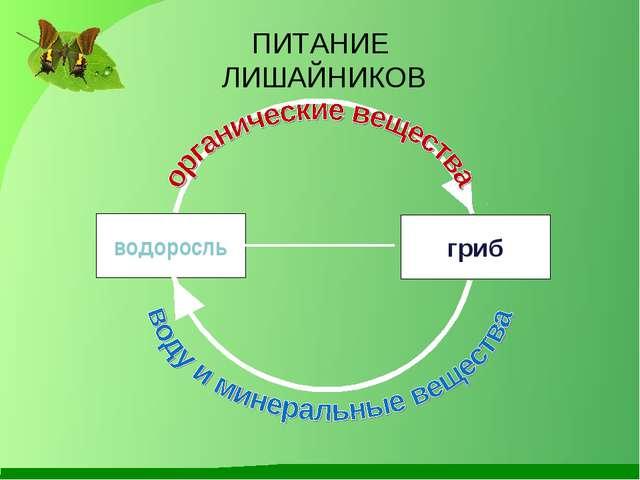 водоросль гриб ПИТАНИЕ ЛИШАЙНИКОВ