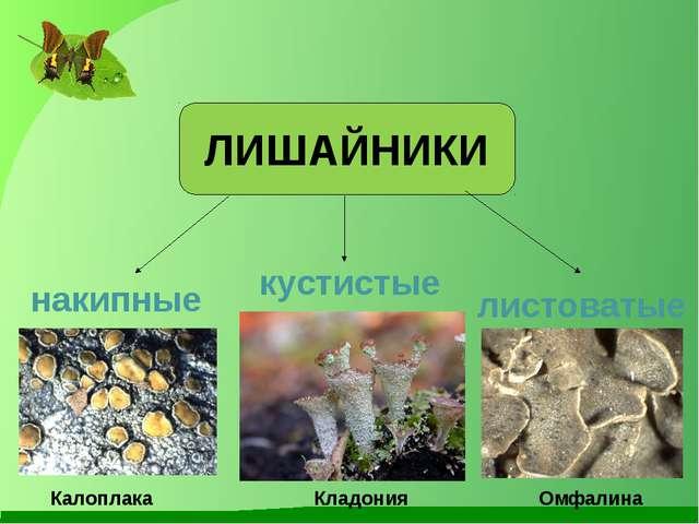 ЛИШАЙНИКИ накипные листоватые кустистые Калоплака Омфалина Кладония