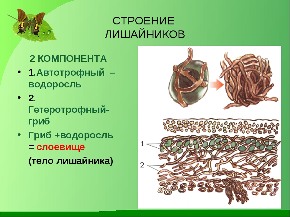 СТРОЕНИЕ ЛИШАЙНИКОВ 2 КОМПОНЕНТА 1.Автотрофный – водоросль 2. Гетеротрофный-...