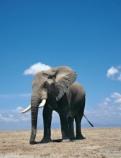 http://50mm.ru/images/elephants_wallpapers/81.jpg
