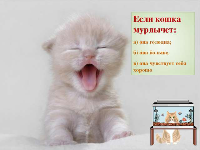 Если кошка мурлычет: а) она голодна; б) она больна; в) она чувствует себя хор...