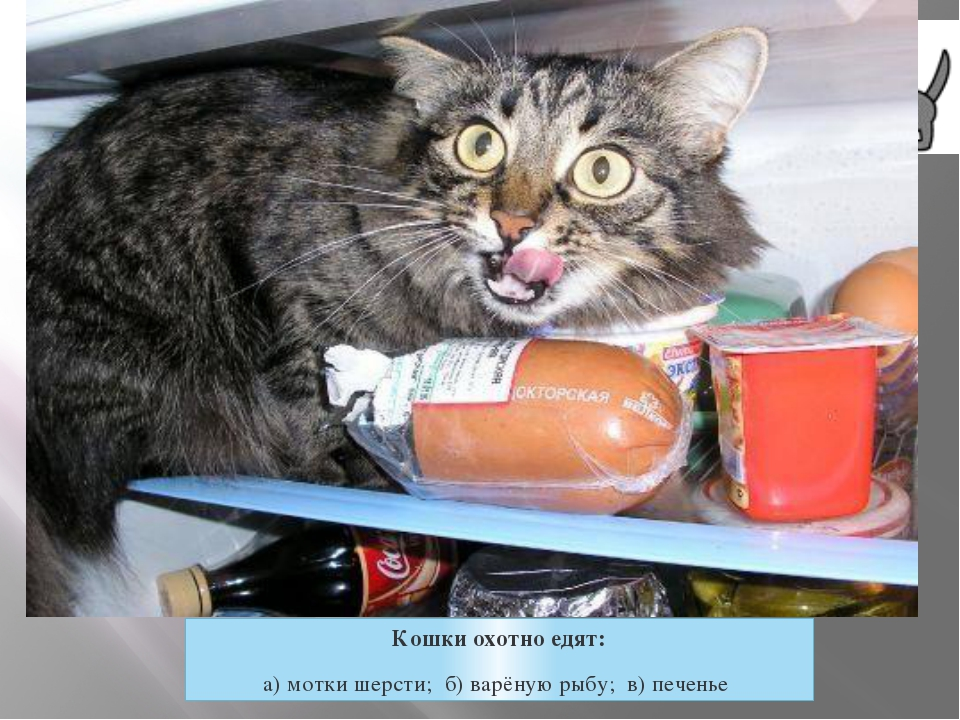 Кошки охотно едят: а) мотки шерсти; б) варёную рыбу; в) печенье
