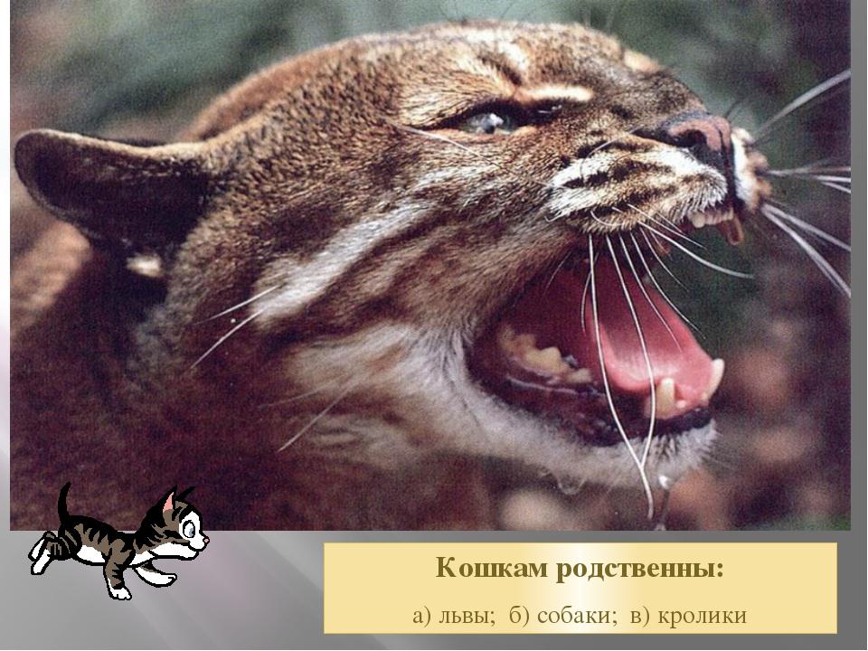Кошкам родственны: а) львы; б) собаки; в) кролики