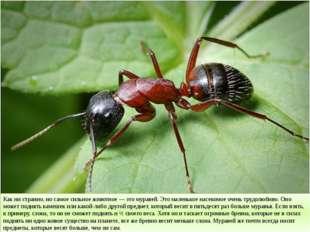 Как ни странно, но самое сильное животное — это муравей. Это маленькое насеко