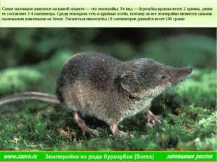 Самое маленькое животное на нашей планете — это землеройка. Ее вид — бурозуб