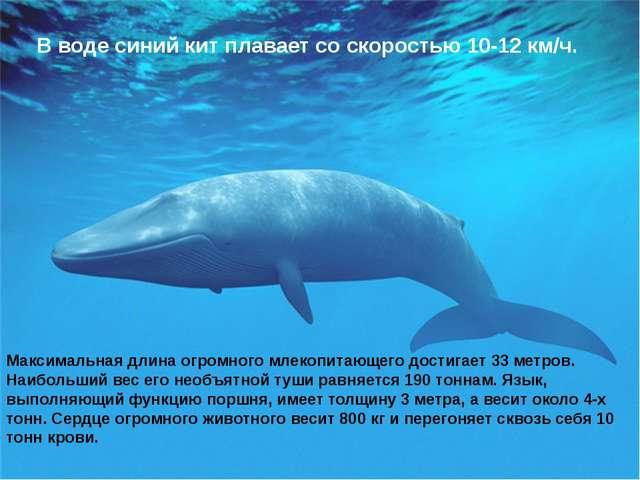 Максимальная длина огромного млекопитающего достигает 33 метров. Наибольший в...