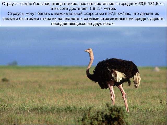 Страус – самая большая птица в мире, вес его составляет в среднем 63,5-131,5...