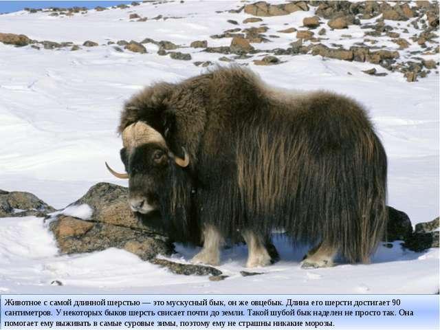 Животное с самой длинной шерстью — это мускусный бык, он же овцебык. Длина ег...