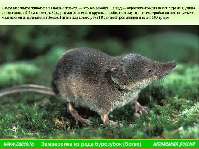 Самое маленькое животное на нашей планете — это землеройка. Ее вид — бурозуб...
