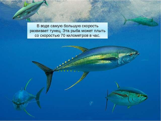 В воде самую большую скорость развивает тунец. Эта рыба может плыть со скорос...