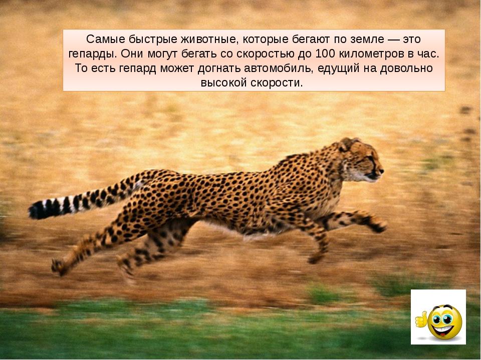 Самые быстрые животные, которые бегают по земле — это гепарды. Они могут бега...