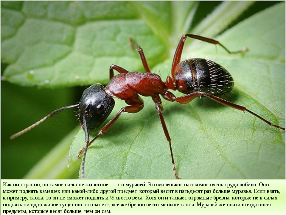 Как ни странно, но самое сильное животное — это муравей. Это маленькое насеко...