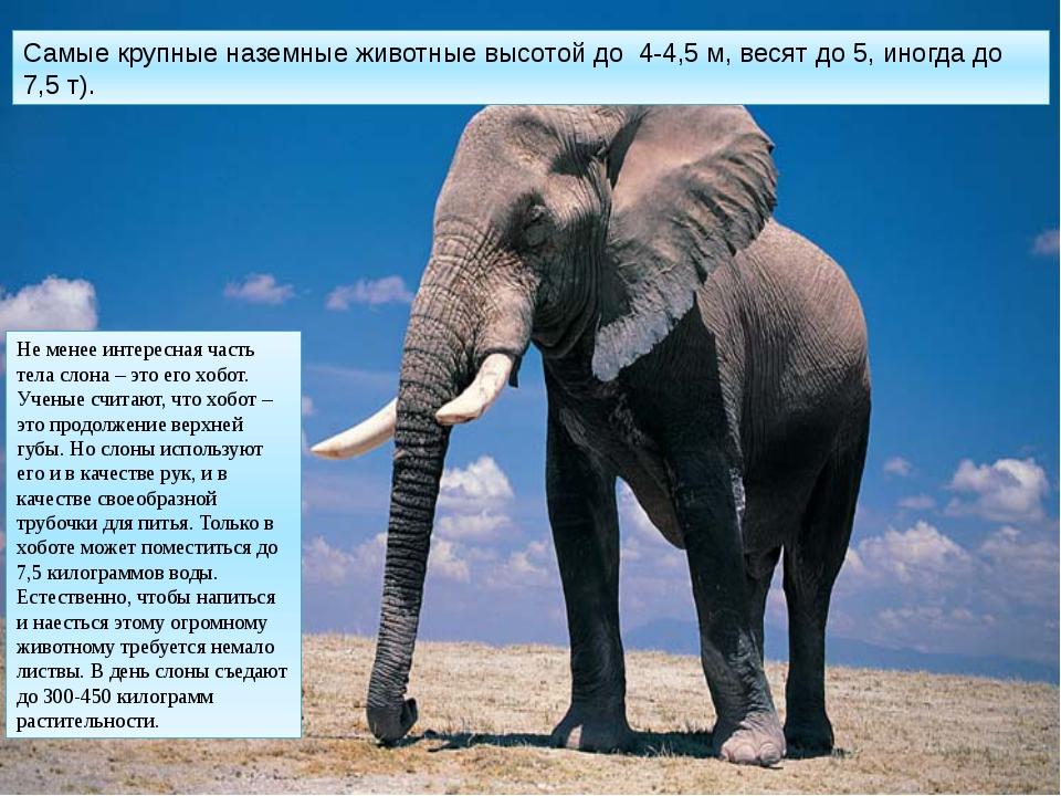 Самые крупные наземные животные высотой до 4-4,5 м, весят до 5, иногда до 7,5...