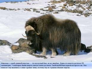 Животное с самой длинной шерстью — это мускусный бык, он же овцебык. Длина ег
