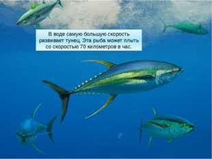 В воде самую большую скорость развивает тунец. Эта рыба может плыть со скорос
