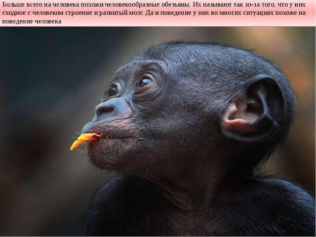 Больше всего на человека похожи человекообразные обезьяны. Их называют так из...