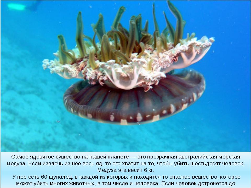 Самое ядовитое существо на нашей планете — это прозрачная австралийская морск...
