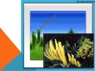 Жёлтые водоросли