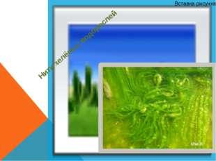 Нити зелёных водорослей