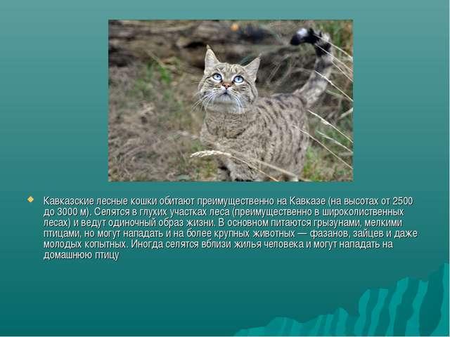 Кавказские лесные кошки обитают преимущественно на Кавказе (на высотах от 250...
