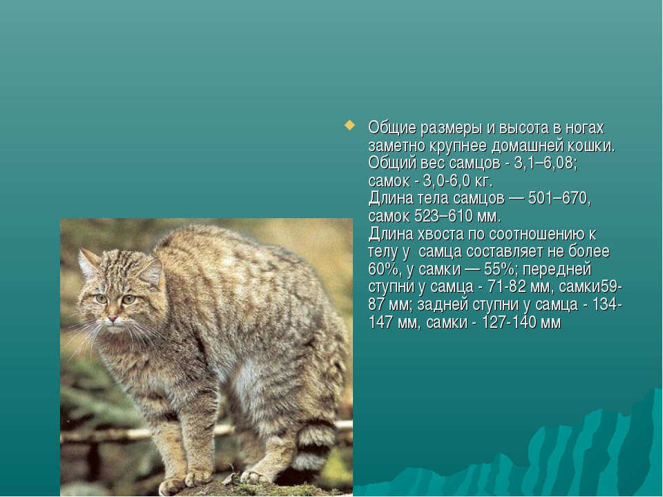 Общие размеры и высота в ногах заметно крупнее домашней кошки. Общий вес самц...